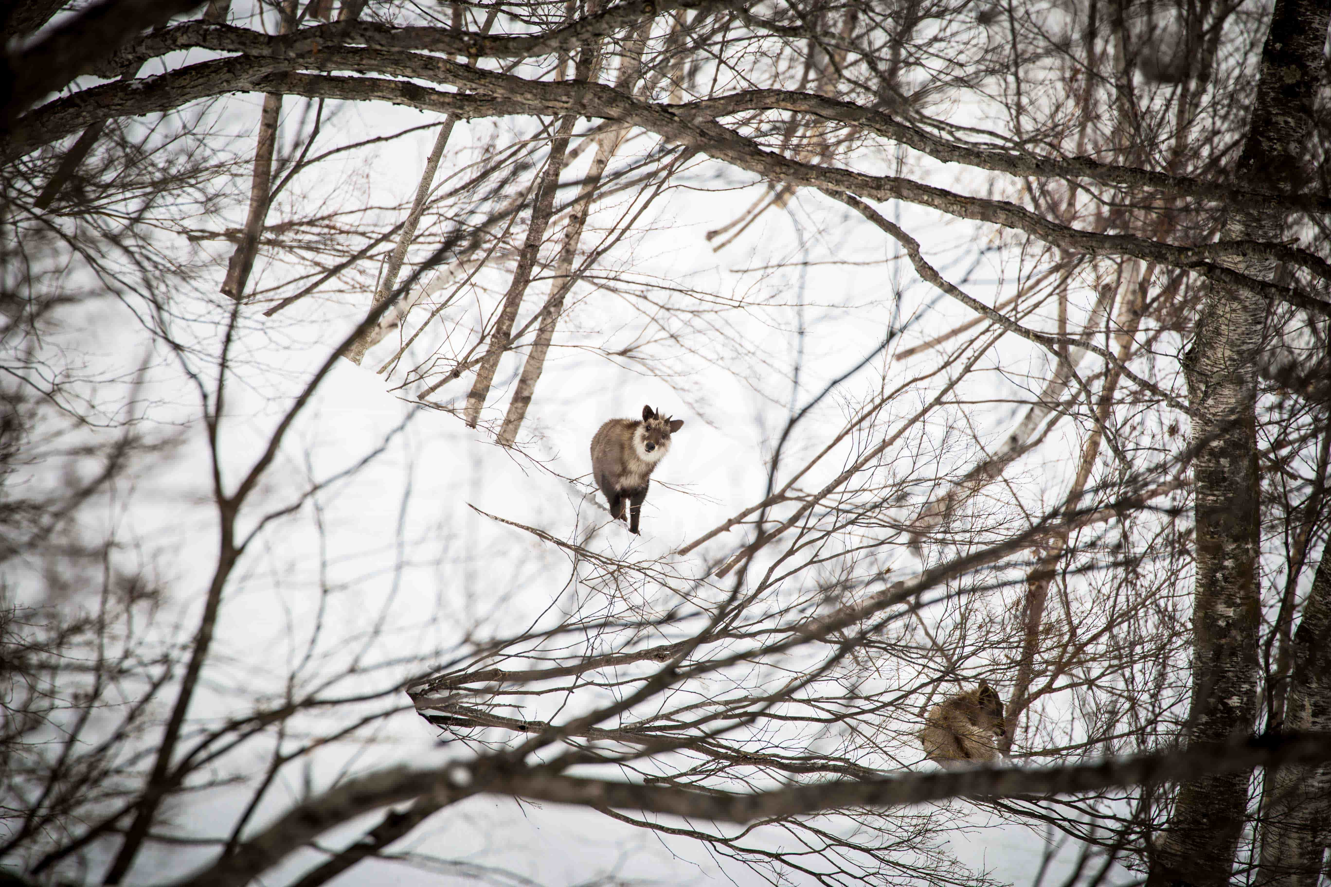 Wild Kamoshika in Hakuba with First Tours